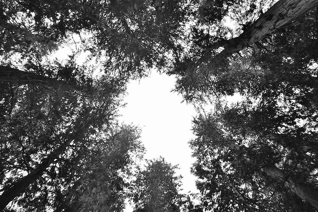 Circle of Cedars
